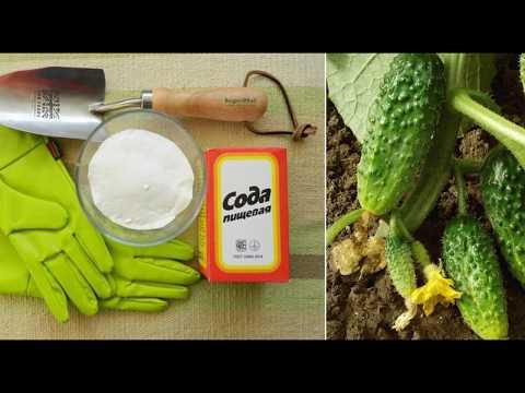 Вопрос: Какие 4 причины рассыпать соду в огороде для получения высокого урожая?