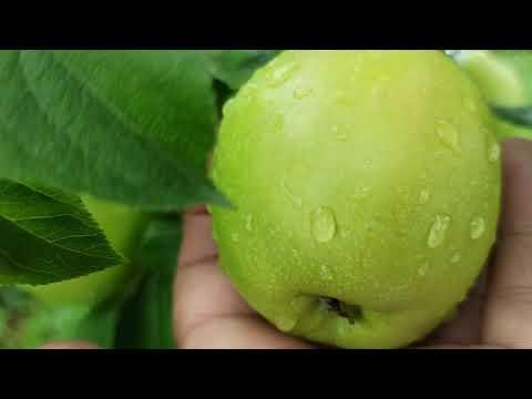 Яблоня Братчуд  - чудо яблоня!!!