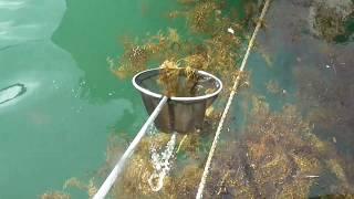 漂流している海藻の中には小魚がいっぱい隠れています。タモアミで試しにすくってみると、やはり出てきました。