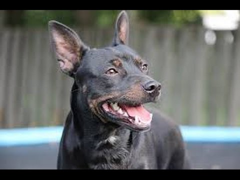 American Hairless Terrier - Dog Breed