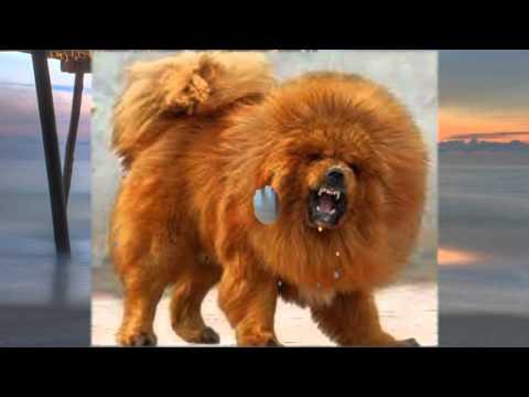 тибетский мастиф купить