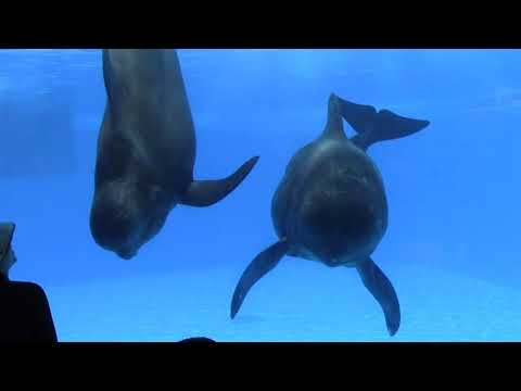 Pilot Whale Training Session at SeaWorld Orlando 5/21/17
