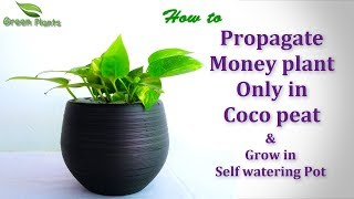 How to Propagate Money plant Only in Coco peat | Propagating Money plant From Cuttings//GREEN PLANTS