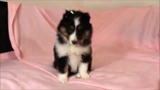 ID:9666、犬種:シェットランドシープドッグ(シェルティー、シェルティ...