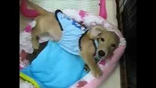 Cute Animals Videos The Mini-tea Dachshund Which Has A Cute Figure Wagging Its Tail Funny Animal