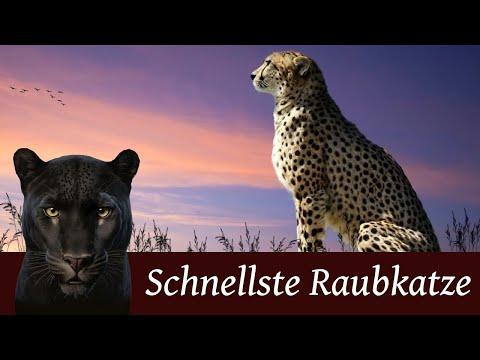 Der Gepard Schnellste Raubkatze Der Welt Youtube