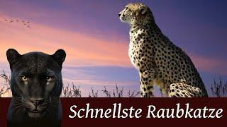 Der Gepard - Schnellste Raubkatze der Welt