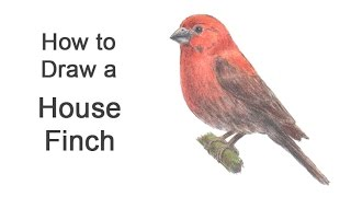 How to Draw a House Finch