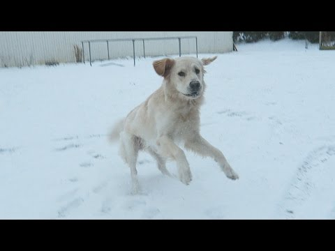 GOLDEN RETRIEVER'S FIRST TIME IN SNOW! (Super Cooper Sunday #44)