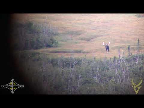 Giant Newfoundland Bull Moose!