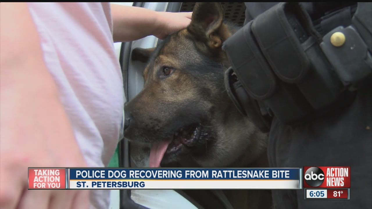 Police dog recovering from rattlesnake bite