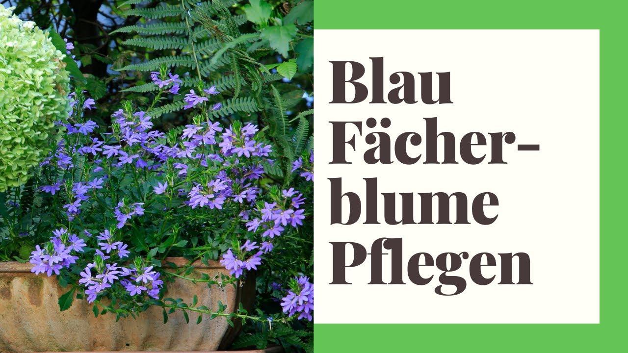 Blaue Facherblume Pflegen So Machen Sie Es Richtig Youtube