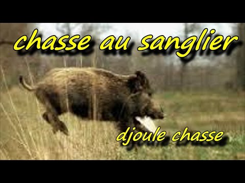 chasse sanglier : 3 sangliers au mm poste