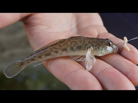 Collecting Native Gobies In Pridnestrovie