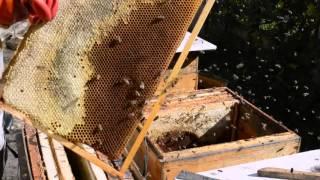 Итоги роеловства. Отчет по пойманным роям пчел. Осень.