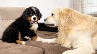 Golden Retriever Meets New Bernese Mountain Dog Puppy for the First Time!
