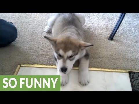 Alaskan Malamute puppy baffled by his first bone