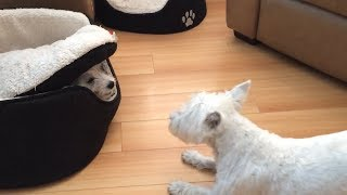 puppy-hilariously-plays-hide-and-seek-from-under-doggy-bed