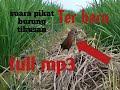 Suara Pemanggil Pikat Burung Tikusan Mata Merah Lengkap(.mp3 .mp4) Mp3 - Mp4 Download