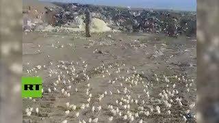 Miles de pollitos nacidos de huevos desechados