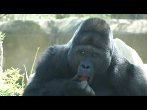 New Western Lowland Gorilla Brothers Now on View at Santa Barbara Zoo