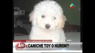 Man Buys Toy Poodles, Discovers They're Actually Ferrets On Steroids   Ferrets Sold As Toy Poodles