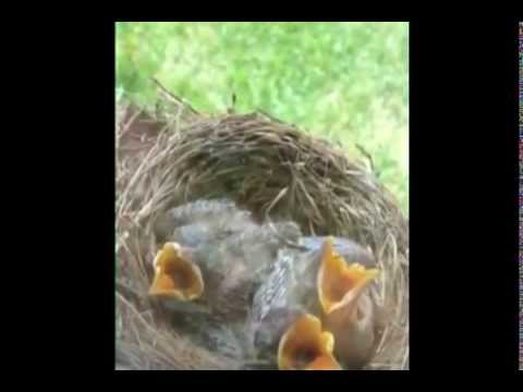 Baby Robins - Hatch to Flight