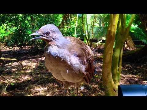 Pássaro Lira, o fantástico imitador