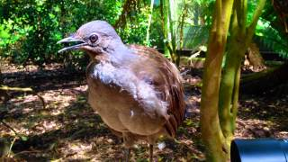 The amazing lyrebird mimicking children toy gun and other sounds