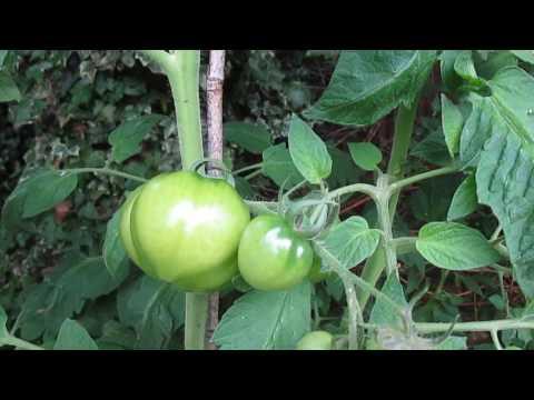 Grafted Tomato Plant Crimson Crush