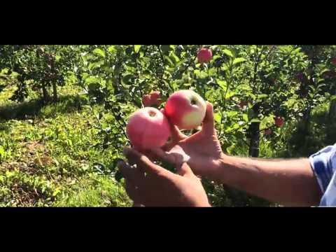 Яблоня сорт Суйслепское Малиновка