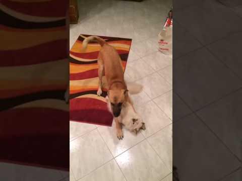 Birman Cat & dog