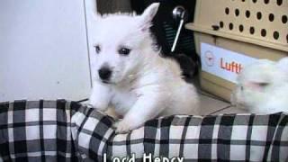 West Highland White Terrier - Lord Henry Und Die Handtaschenbande