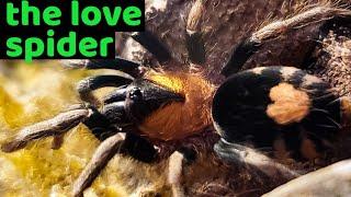 Trinidad Dwarf Tarantula (Cyriocosmus elegans) Care & Husbandry