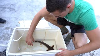 SAVING A Sturgeon From POND EATERS!!