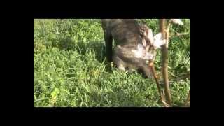 favara cane corso kyra cucciolo di 5 mesi.