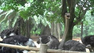 And again in the zoo of China (the ostrich farm)