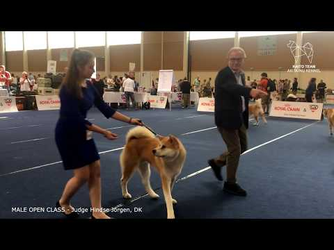 EURO DOG SHOW 2019 | MALE OPEN AKITA EDS | WELS, AUSTRIA | EDS 2019
