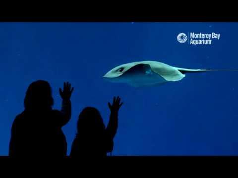 Pelagic Stingrays In The Open Sea Exhibit