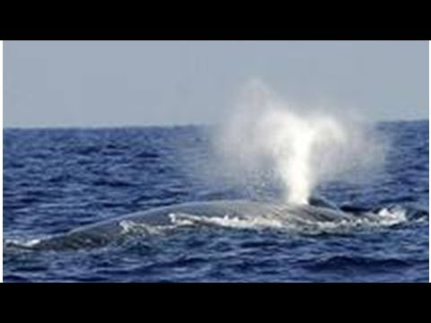 The blue whale is primarily ' pros ': study- ShockingTimes