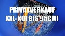 Koiteichblog [114] ★ Der GROßE Privatverkauf, XXL Koi bis 95cm