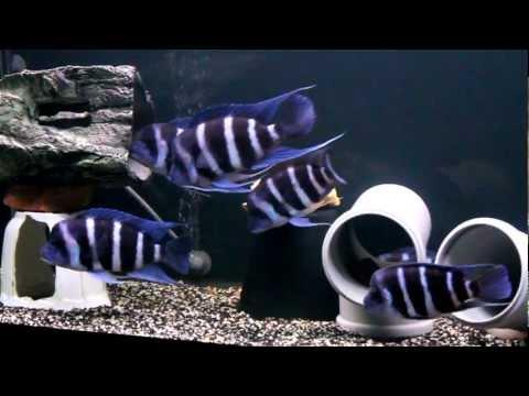 Cyphotilapia frontosa blue