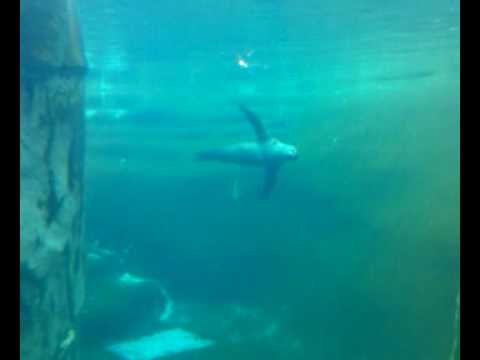 Sea Lion at Brookfield Zoo