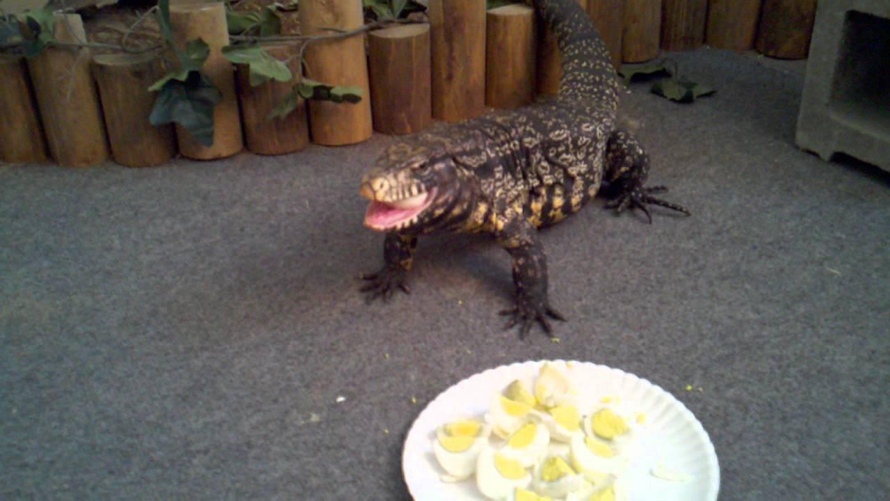 Giant lizard invades Tampa; The tegu, a non-native species ...   Giant Tegu Lizard