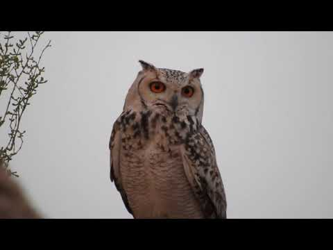 Birds of Saudi Arabia: Pharaoh Eagle-Owl
