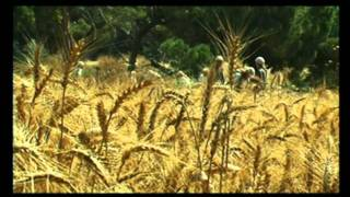 THE WHEAT HARVEST - His winnowing fork is in his hand