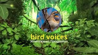 Голоса птиц : кукушка