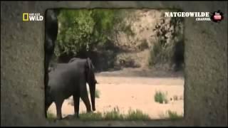 Слон спас буйвола от льва  Очень трогательно!  Необычное поведение животных   Уникальные кадры1