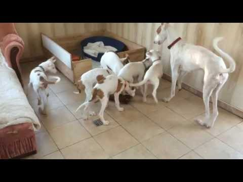 Ibizan Hound mother..