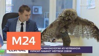 Смотреть видео Чиновник Минэкологии из Челябинска украсил кабинет краснокнижной совой - Москва 24 онлайн